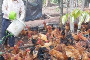 'Vua gà' khuyết tật tiết lộ cách chăm sóc gà dược liệu có '1-0-2'