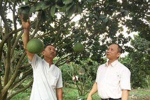 Lâm Đồng: Trồng bưởi da xanh 'xen canh' heo rừng, thu về cả tỷ đồng