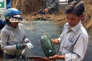 Dán tem lên trái cây xuất khẩu sang Trung Quốc: Đảm bảo việc truy xuất nguồn gốc