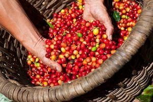 Ngày 24/4: Giá cà phê, cao su cùng giảm
