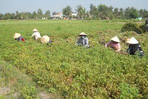 Bình Định: Nông dân Phù Cát trúng mùa đậu phụng