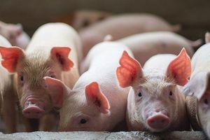 Ông trùm thức ăn chăn nuôi Trung Quốc mở 3 trang trại lợn ở Việt Nam