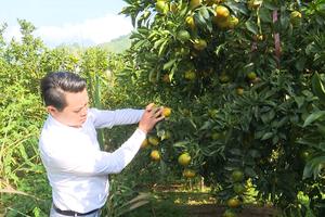 Sơn La: Hiệu quả sau 3 năm phủ xanh đất trống bằng cây ăn quả