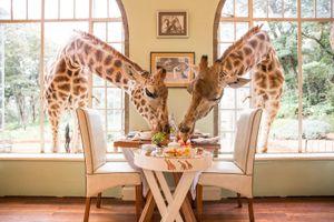 Thích thú với trải nghiệm ăn tối cùng hươu cao cổ tại Kenya