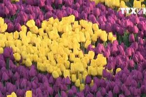 Đến Thổ Nhĩ Kỳ chiêm ngưỡng thảm hoa Tulip lớn nhất thế giới
