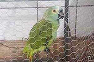 Vẹt bị… bắt vì là 'tòng phạm' trong băng nhóm tội phạm buôn bán ma túy