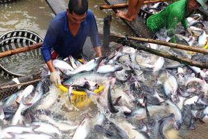 Giá cá tra nguyên liệu giảm mạnh vì xuất khẩu gặp khó