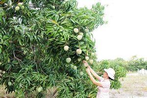 Liên tiếp trúng mùa, trúng giá xoài Úc, xoài Đài Loan, dân khá giàu