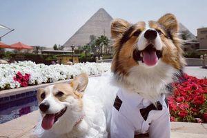 Ảnh cưới ở Ai Cập của 2 chó Corgi luôn theo chủ đi muôn nơi