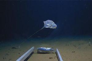 Phát hiện sinh vật dị thường ở nơi sâu nhất của Ấn Độ Dương