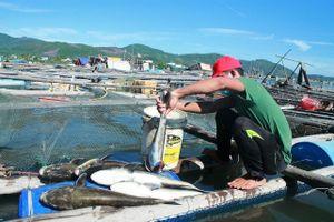 Cá bớp nuôi lồng bè đảo Lý Sơn chết bất thường