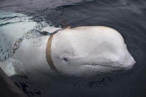Na Uy nói cá voi 'nghi vũ khí quân sự' của Nga đã đào thoát khỏi nơi được huấn luyện