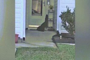 Kinh dị cảnh cá sấu đứng trên 2 chân sau, đòi mở cửa vào nhà