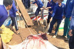 Quảng Ngãi: Ngư dân Lý Sơn bắt được 2 con cá đuối 'khủng'