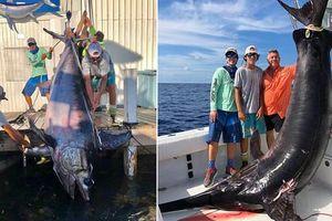 Bắt được cá kiếm 'quái vật' gây sốc với kích thước hiếm