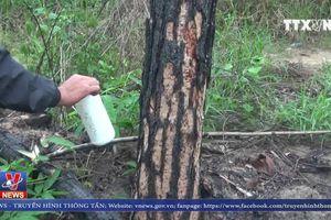 Khoảng 10 hec-ta cây thông 17 năm tuổi bị đầu độc tại Lâm Đồng