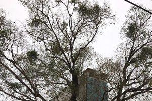 Cả làng 'kêu cứu' vì cây bồ đề hàng trăm tuổi bị xâm hại