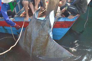 Ngư dân Lý Sơn bán 2 con cá với giá 24 triệu đồng