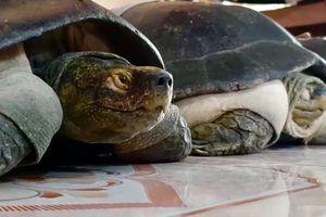 Chuyện kỳ bí miền Tây: Cụ rùa 100 tuổi ăn chay, nghe kinh Phật