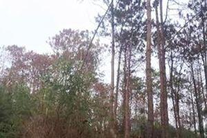 Cả cánh rừng thông bị đầu độc