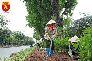 Trồng cây cảnh, phủ xanh dải phân cách ở đường Kim Mã