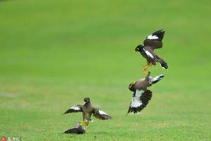 Chim sáo độc chiếm đấu nhau trên sân golf