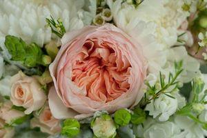 Vì sao hoa hồng Juliet đắt nhất thế giới?