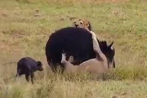 Trâu mẹ liều mình húc tung sư tử để bảo vệ con