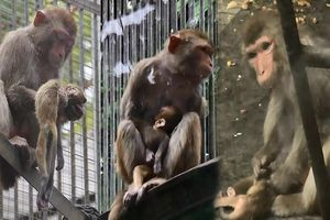 Rơi nước mắt cảnh khỉ mẹ cố gắng giữ đứa con đã chết hai ngày bên mình