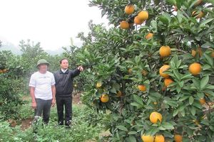 Yên Thành phát triển bền vững cây ăn quả có múi
