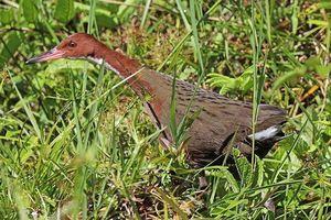 Tìm thấy loài chim đã tuyệt chủng 136.000 năm trước