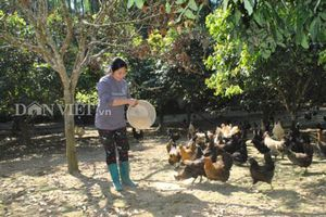 Lào Cai: Nuôi loài gà xương đen xì xì, thu 400-500 triệu đồng mỗi năm