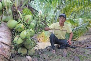 Sóc Trăng: Làm du lịch vườn nhờ trồng dừa thơm mùi lá dứa, trái sát đất