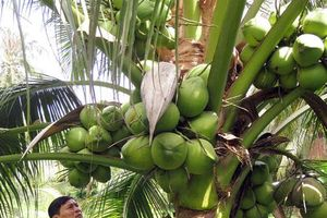 Lạ mà hay: Làm 'đám cưới' cho 2 giống dừa, đẻ 'con lai' ai cũng mê