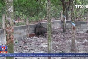 Huyện Đồng Phú (Bình Phước) chính thức công bố dịch tả lợn