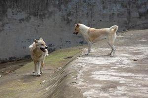 Kỳ lạ chó nhà và chó sói sống chung siêu hòa hợp