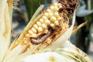 Sâu keo mùa thu đe dọa mùa màng ở châu Á