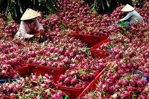 Bình Thuận: Giá thanh long tăng đột biến