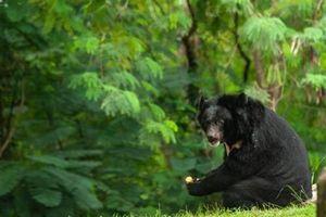 Bị gấu đen 'khủng' tấn công, người đàn ông được cứu bởi gấu nhỏ