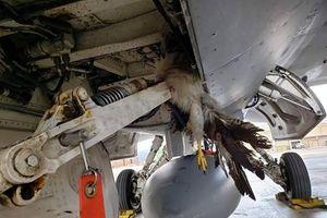 Máy bay chiến đấu F-35B, F-16 của Mỹ thiệt hại hàng triệu USD vì... chim