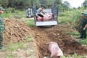 Dịch tả lợn Châu phi tái phát tại Thanh Hóa