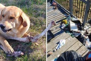 Gấu hoang 'hối lộ' chó canh nhà xương hươu để tiếp cận thùng rác