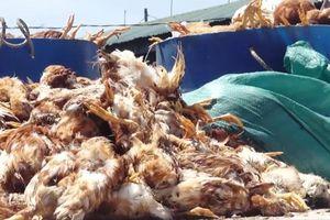 Truy tìm kẻ cắt điện, ném đá khiến 1.200 con gà chết