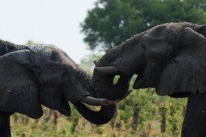Zimbabwe 'hốt bạc' 2,7 triệu USD từ bán voi cho Trung Quốc, Dubai