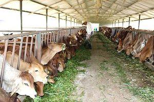Chăn nuôi gia súc ăn cỏ còn nhiều dư địa phát triển