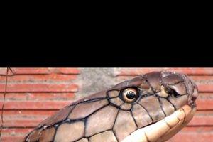 Xác định 'danh tính' loài rắn lớn bắt dưới chân núi Cấm