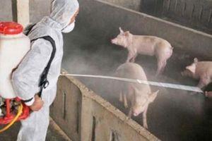 Hà Nội tố không được cung cấp thông tin về diễn biến dịch tả lợn châu Phi