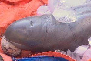 Bắt được cá lạ, nặng 150kg trên sông Cổ Chiên