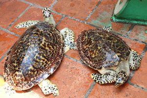 Giao nộp 2 rùa biển quý hiếm, thả về biển