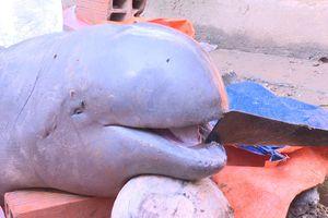 Nếu xác nhận cá lạ trên sông Cổ Chiên là cá nược Minh Hải, sẽ chấn động